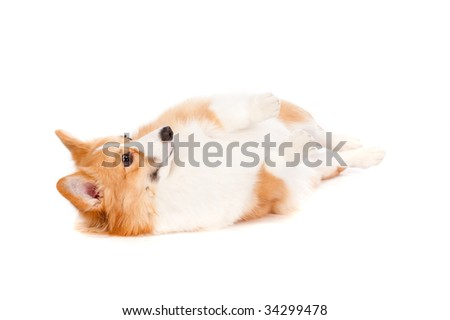 An adorable brown and white corgi rolling over on white background