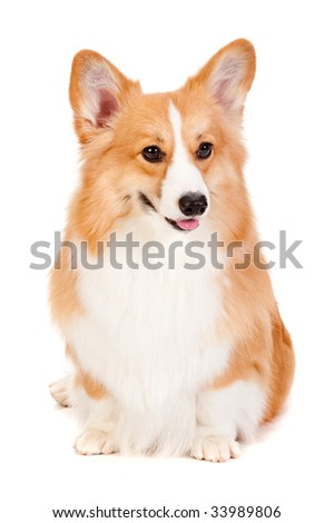 An adorable brown and white Corgi sits obediently against a white background