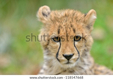 An adorable cheetah cub (Acinonyx jubatus) poses for a 'portrait' - stock photo