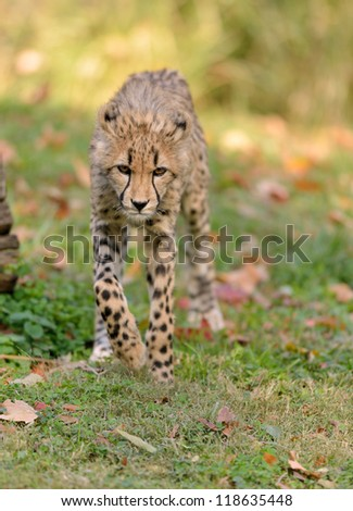 An adorable cheetah cub (Acinonyx jubatus) walking towards viewer - stock photo