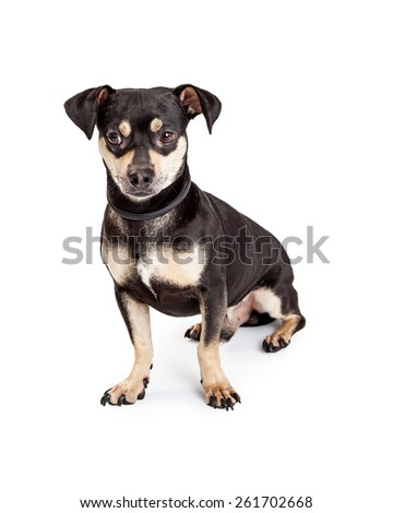 An adorable Chihuahua and Dachshund Mixed Breed Dog sitting while looking forward.  - stock photo
