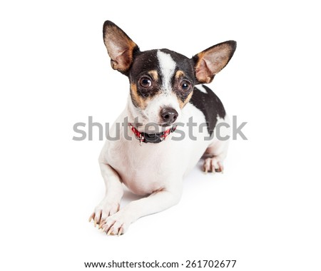 An adorable Chihuahua Dog laying with paws  outstretched while looking off to the side.
