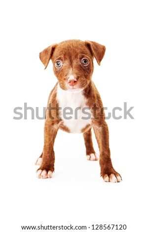 An adorable eight week old mixed terrier breed puppy standing against a white backdrop and looking at the camera - stock photo