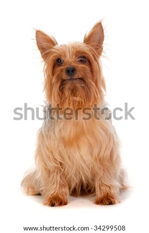 silky dog white. an adorable golden brown silky terrier sits obediently against white background dog