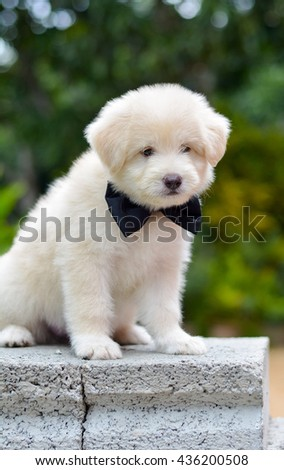 An Adorable Golden Retriever Puppy. Golden Retriever Dogs Have An Instinctive Love Of Water And Are Easy To Train To Basic Or Advanced Obedience Standards