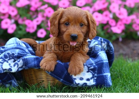 An adorable Labrador Retriever and Poodle mix (a mix known as Labradoodles) puppy sits in a basket - stock photo