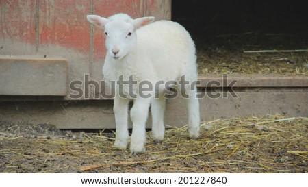 An adorable lamb outside of barn - stock photo