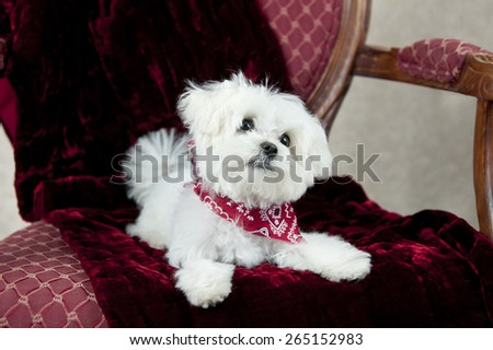 An adorable little twelve week old Maltese puppy in a chair with focus on his face
