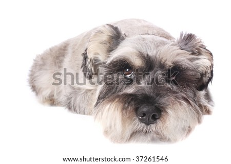An adorable Miniature Schnauzer on a white background.
