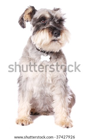 An adorable Miniature Schnauzer on a white background. - stock photo