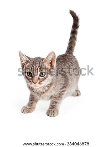 An adorable playful Tabby Kitten ready to pounce.  Kitten is almost 8 weeks old.  - stock photo