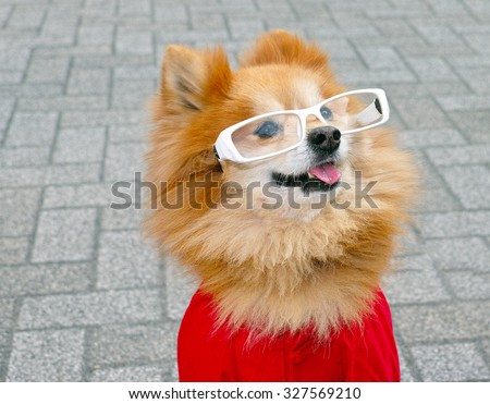 An adorable pomeranian puppy with glasses on a clean background. - stock photo