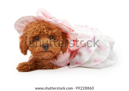 An Adorable red Poodle puppy wearing a pink Easter dress and bonnet laying against a white backdrop. - stock photo