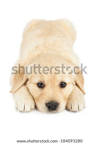 An adorable six week old Golden Retriever puppy laying down and looking forward