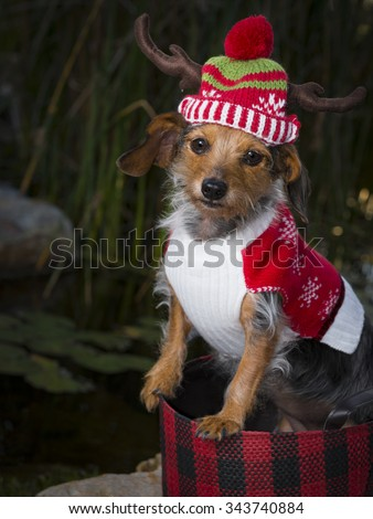 An adorable small Mixed Breed Dog sitting in a basket wearing a reindeer hat and sweater. Dog is looking directly into the camera. - stock photo