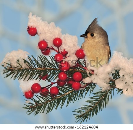 An adorable winter Tufted Titmouse (Baeolophus bicolor) on a snow- covered festive spruce bough. - stock photo