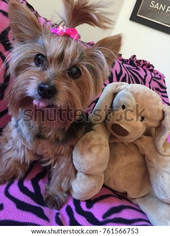 Fantastic Terrier Bow Adorable Dog - stock-photo-an-adorable-yorkie-yorkshire-terrier-puppy-with-a-pink-top-knot-bow-sticking-her-tongue-out-sitting-761566753  Perfect Image Reference_793269  .jpg