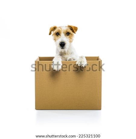 An adorable young parson russell terrier dog inside a cardboard box, isolated on white background - stock photo