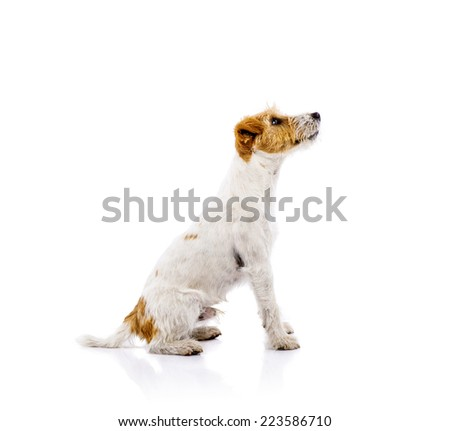 An adorable young parson russell terrier dog isolated on white background - stock photo