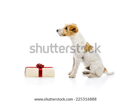 An adorable young parson russell terrier dog standing next to Christmas gift, isolated on white background - stock photo