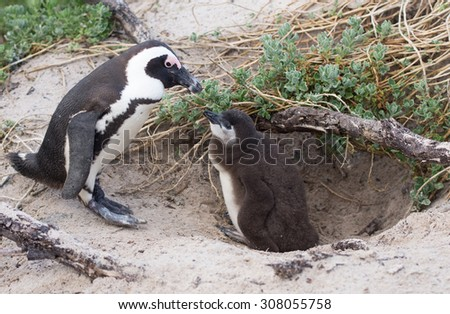 An adult African penguin and a check at a nest on Boulder's Beach near Cape Town, South Africa