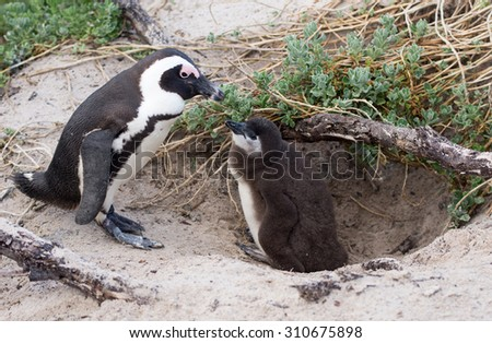 An adult African penguin and a check at a nest on Boulder's Beach near Cape Town, South Africa - stock photo