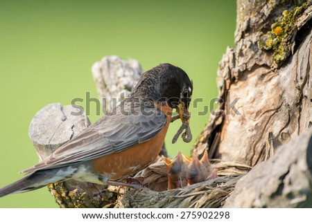 An adult American robin arrives at its nest with a mouthful of food to feed four hungry chicks on a spring day. - stock photo
