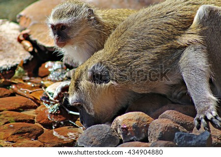 An adult and adolescent vervet monkey drink water from a pond in a nature reserve in Zimbabwe, Africa. - stock photo