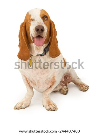 An adult Basset Hound dog missing his right eye sitting with a happy expression - stock photo