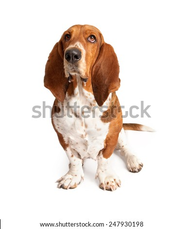 An adult Basset Hound dog with drool dripping out of his mouth