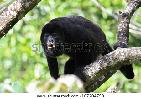 An adult black Howler monkey on a tree howling at Costa Rica. - stock photo
