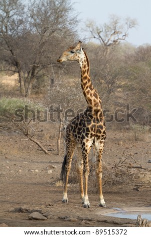 An adult bull giraffe at a man-made waterhole in the kruger national park, south africa - stock photo