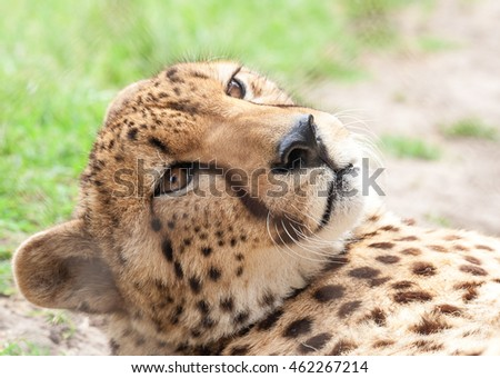 An adult cheetah in his enclosure in a preservation center near Cape Town, South Africa.
