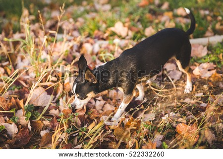 An adult chihuahua sniffs around a lawn with dead leaves