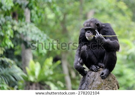 An Adult Chimpanzee with Blurry Background and Empty Space for Text and/or Title  - stock photo