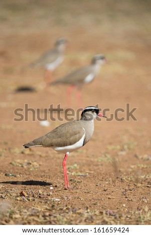 An adult crowned lapwing in focus in front with two more lapwings out of focus in the background - stock photo