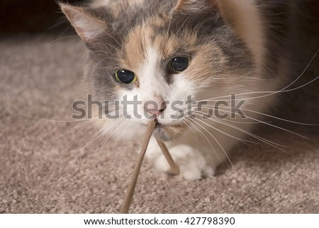 An adult domesticated muted calico cat playing with a string. - stock photo