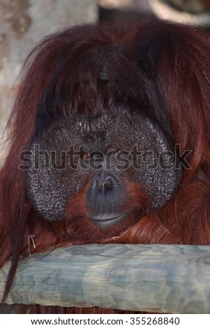 An Adult Dominant Male Bornean (Pongo Pygmaeus) Orangutan with the Signature Developed Cheek Pads - stock photo
