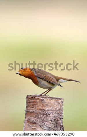 An adult European Robin perched on a tree stump in a meadow.