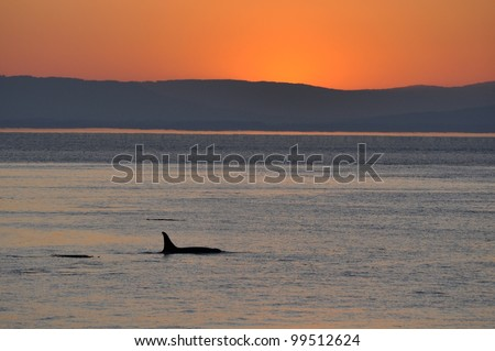 An adult female killer whale swims into a sunset in the San Juan Islands, Washington. - stock photo