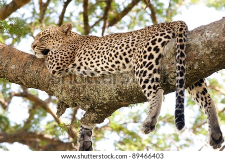 An adult female leopard sleeping on a tree branch in the Serengeti National Park, Tanzania - stock photo