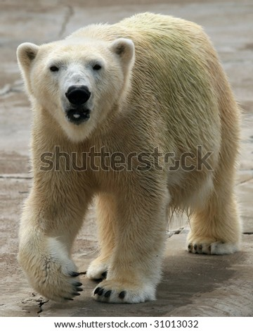An adult female polar bear (ursus maritimus) walking - stock photo