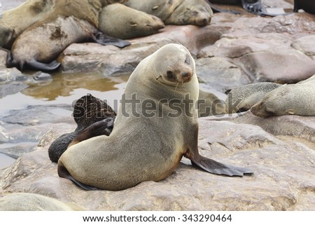 An adult female suth African fur seal sits on a rocky shoreline next to her offspring - stock photo