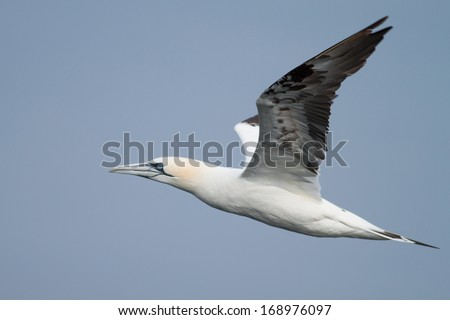 An adult gannet flying above the North Sea in the Netherlands, near Texel and Den Helder