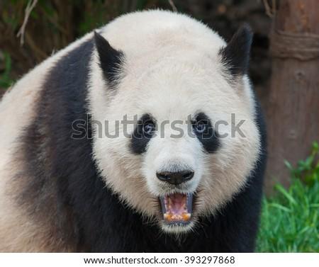 An adult giant panda bear - stock photo
