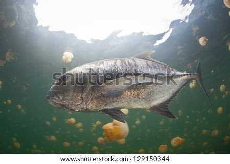 An adult Giant trevally (Caranx ignobilis) swims in an isolated marine lake filled with endemic jellyfish in Raja Ampat, Indonesia.  This fish must have gotten into the lake when it was a larvae.