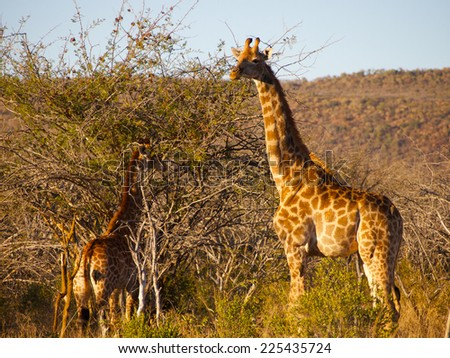 An adult Giraffe surveys the surroundings, while a juvenile browses in a thorn tree in the background