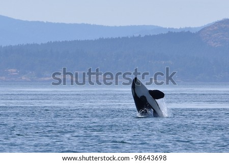 An adult killer whale breaches in Haro Strait between San Juan Island, Washington, and Vancouver Island, Canada. - stock photo