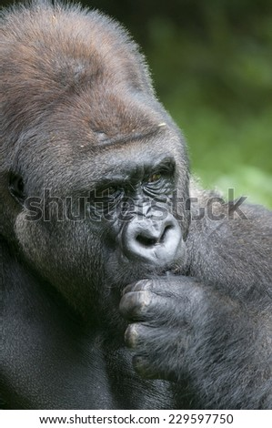 An adult lowland gorilla sitting and observing the crowds.