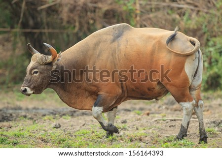 An adult male banteng stepping out of the wood for grass and water